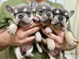 Stunning Lilac Choclate and tan french bulldog puppies