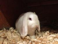 Mini lop available