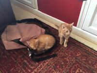 Male red tabby kittens for sale