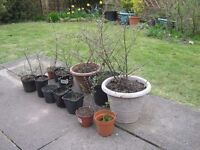 Cotoneaster Hedge Plants