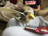 Lost cockatiel EN3 area. Hes a yellow faced cockatiel, with grey and white pattern on his wings.