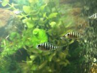 Fish - Spotted Tilapia (Tilapia Mariae) Fry (Fingerlings)