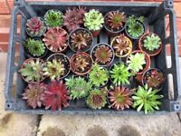 Sempervivums (multiple varieties)