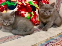 beautiful Royal Kittens ready to leave NOW
