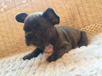 Kc Reg Female French Bulldog Puppy