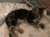 Kittens for sale. (Half Bengal, half Siberian)