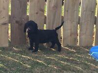 Springador puppy