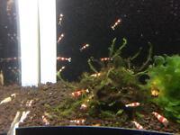 Crystal red shrimp £3 10 for £25