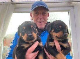Beautiful Rottweiler puppies (ladies ) for sale!
