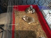 Ready in 3 weeks deposit secures pure bred baby mini lops rabbits male and females good homes £50