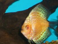 DISCUS FISH AND SILVER FLYING FOX PLUS DENISON BARB