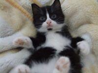 Kitten for sale, FEMALE