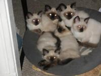 SIAMESE/HIMALAYAN KITTENS FOR SALE