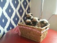 Beautyful Fawn Pug Puppies Kc Registered