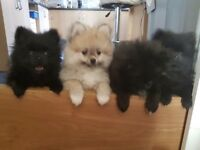 For sale fun-loving pedigree Pomeranian puppies, 12 weeks old