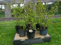 Pyracantha Instant Hedging Evergreen Large Shrub Flowers / Berries 60cm / 70cm Tall 5 Litre Pot