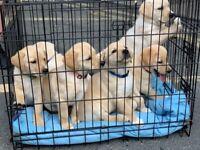 Labrador Collie cross Pups