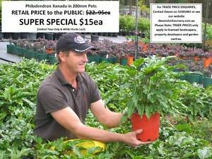 Philodendron Xanadu in 200mm Pots SUPER SPECIAL $15ea HS075 Mudgeeraba Gold Coast South Preview
