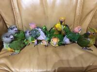 Caique parrots baby , Senegal baby parrots, sun conure baby parrots