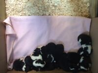 Black & White springer spaniel puppies