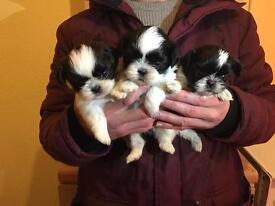 Cute small Size Shih Tzu Puppies