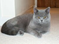 Beautiful Pedigree British Blue Cat