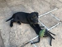 Pedigree black labrador puppy £700 - Ready to go!