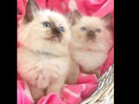 GORGEOUS RAGDOLL KITTENS 2 left now to reserve