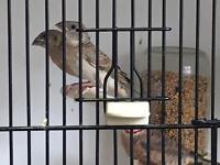 Cutthroat finches