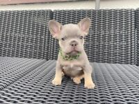 Male Lilac & tan fluffy carrier french bulldogs