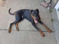 Male Doberman, 12mths old puppy, full pedigree Russian bloodline. Friendly, good with kids.