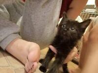 4 gorgeous black kittens X