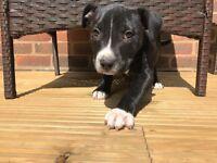10 week old staff puppie (male)