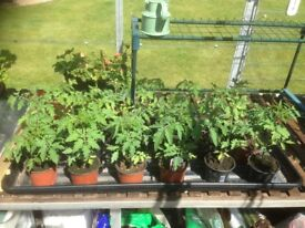 Tomato Plants - Gardeners Delight - healthy young plants - 50p each