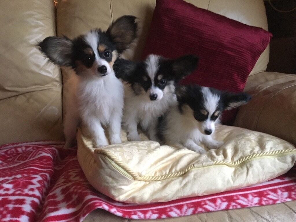 Papillon Puppies For Sale In Falkirk Gumtree