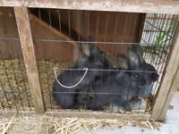 Free baby rabbits