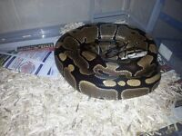Normal royal pythons males and females with setup