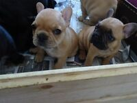 4 gorgeous French bulldog pups for sale