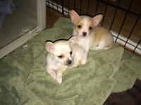 1 Chihuahua Puppy left! Ready December 11th