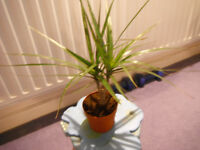 Swap my dracaena Marginata with other house plants