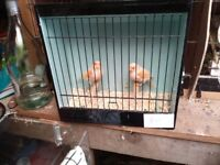 Hen canaries one year old and close rung