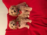 GOLDEN RUBY CAVAPOOCHON puppies 8weeks 1 left boy