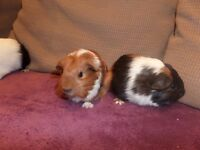 2 young guinea pigs for sale