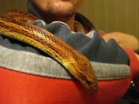 corn snake and viv with all accessories for sale