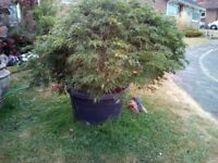 ACER at present in container 80cm dia x 50cm high plant is approx 120 cm high x150 cm wide