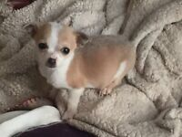 Jack Russell x Chihuahua