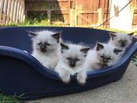 Ragdoll Kitten 1 Boy left