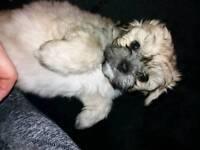 Male shih Tzu puppy ready now