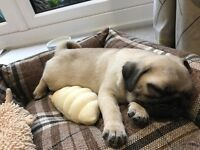 9 Week Old Pug Puppy for sale
