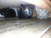 Tortoiseshell female kitten and black with grey flecks male kitten